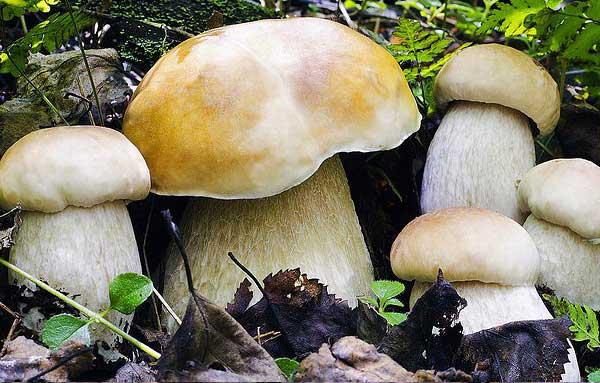 Белый гриб березовый (Boletus edulis, f. betulicola)