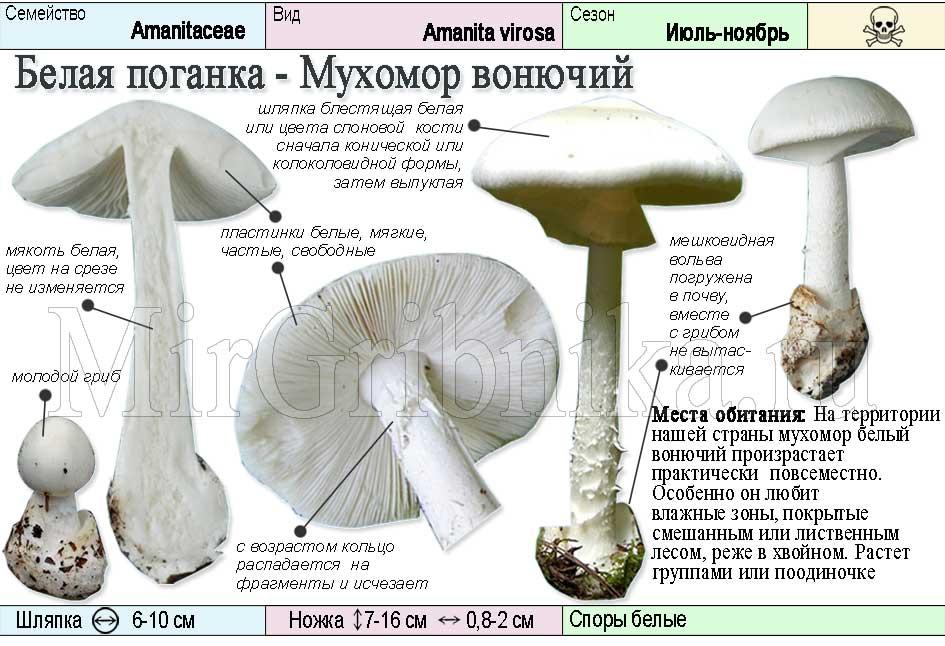 описание белой поганки - мухомора вонючего