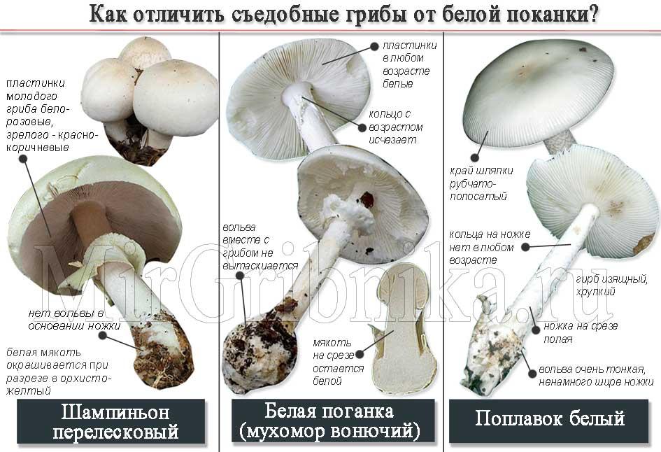 Отличия съедобных грибов от Бледной поганки (Мухомора вонючего)