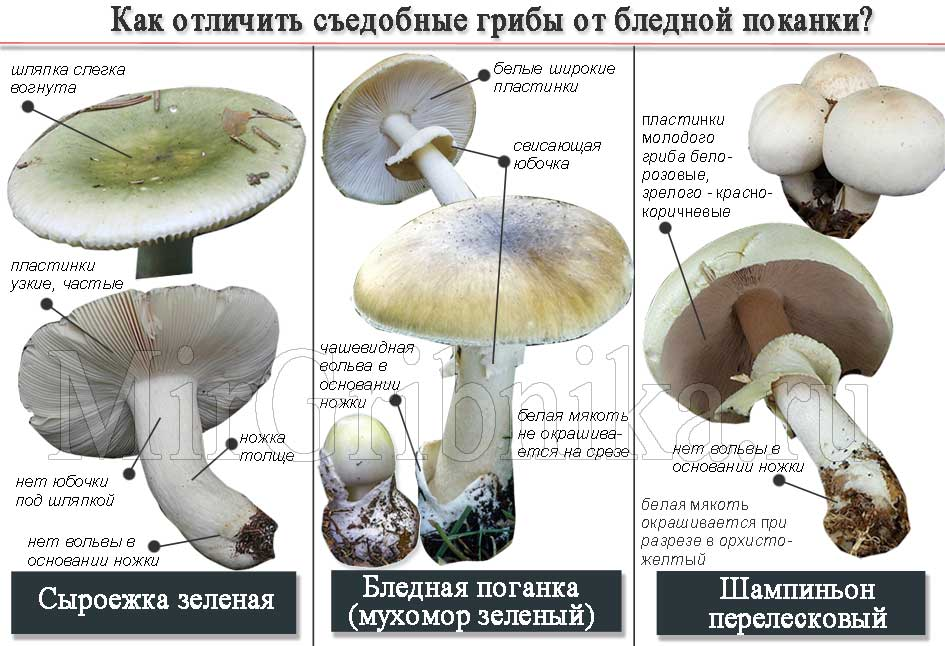 отличия съедобных грибов от бледной поганки