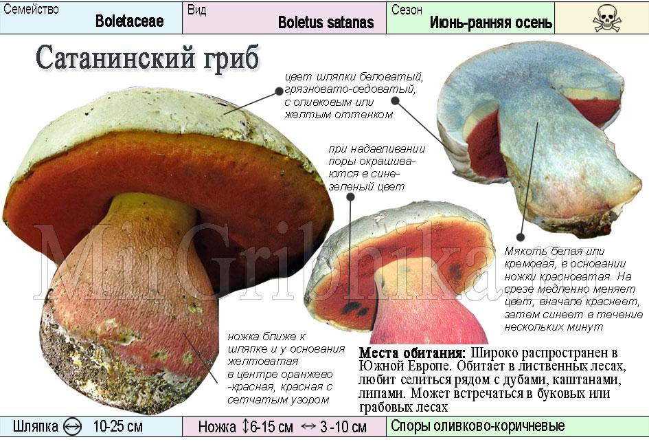 Описание сатанинского гриба
