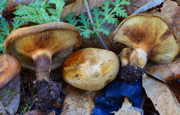 гриб коровник фото описание