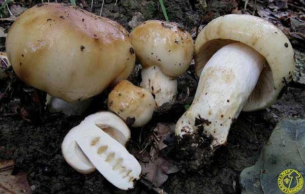 гриб валуй внешний вид