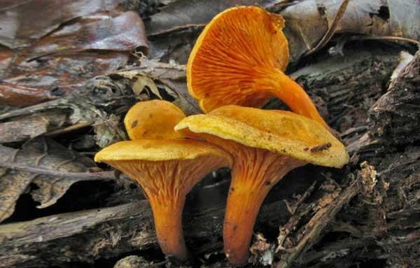 Ложные личиски Hygrophoropsis aurantiaca