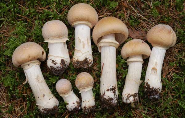 гриб колпак кольчатый