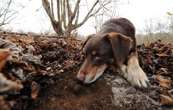 Поиск черного трюфеля с помощью собаки