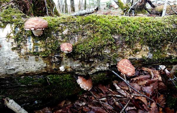 Грибы шиитаке на поваленном дереве