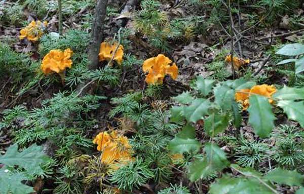 грибы лисички выращивание из спор