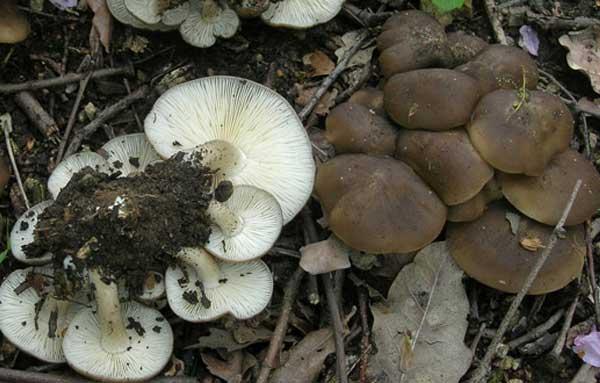 Фото гриба скученной рядовки