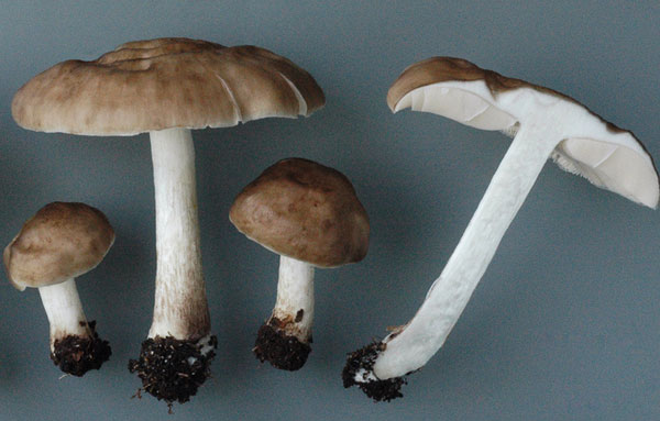 гриб плютей олений