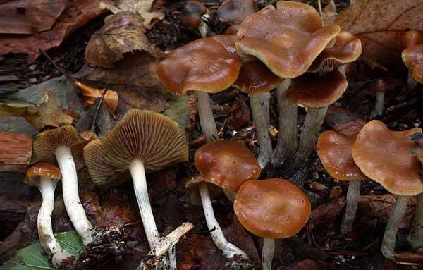 Псилоцибе синеющие после дождя