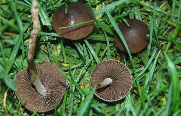 Плодовые тела гриба сенного навозника (панеолуса сенного)