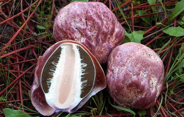Молодые плодовые тела весёлки хадриана