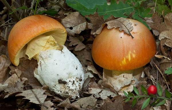 Плодовые тела цезарского гриба