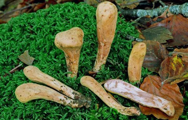 гриб рогатик фото и описание