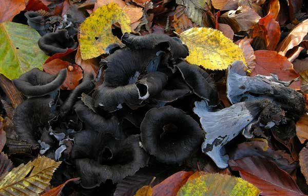 плодовые тела лисички черной