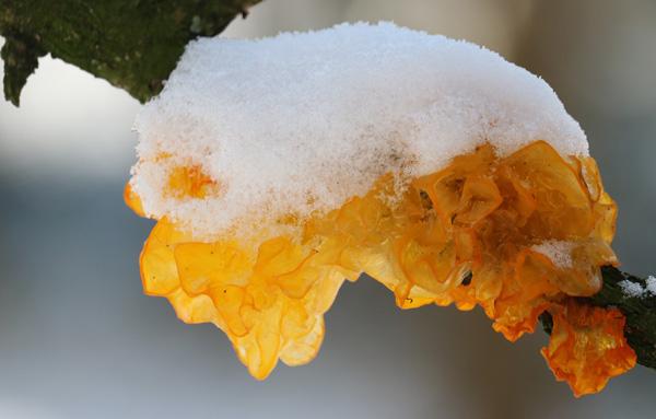 Плодовое тело дрожалки оранжевой в зимнее время