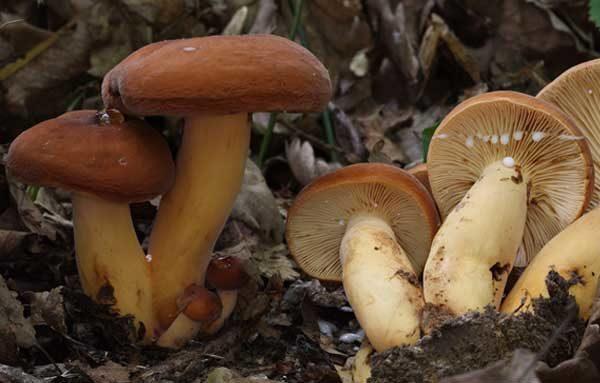 Внешний вид гриба подорешника