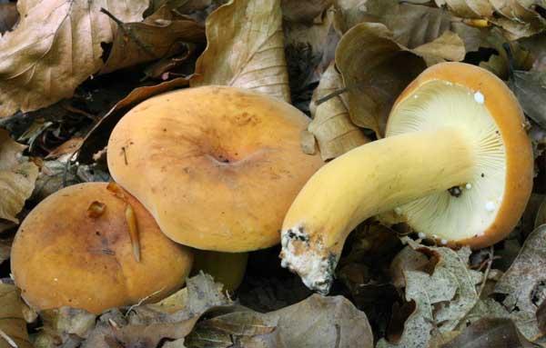 Плодовые тела гриба подорешника