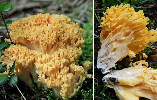 Плодовое тело рогатика желтого: общий вид и разрез