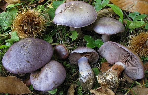 Плодовые тела паутинника сизо-голубого
