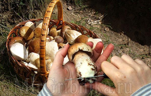 Сбор и подготовка белых грибов в лесу