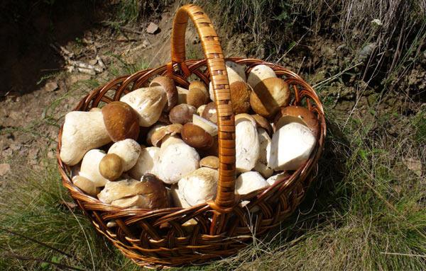 собранные белые грибы