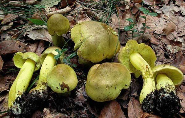 Гиб зеленушка (Tricholoma flavovirens)