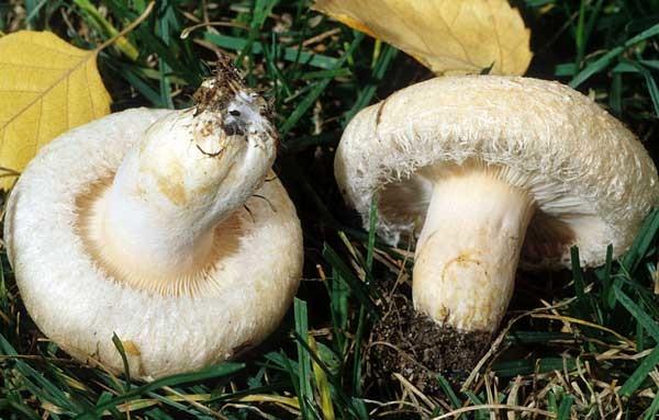 Молоды грибы Белая волнушка (белянка)