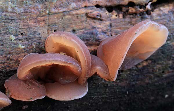 Плодовые тела аурикулярии уховидной