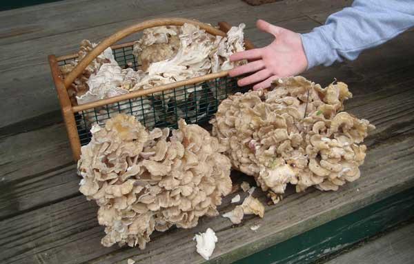 Сбор гриба барана (грифолы курчавой)