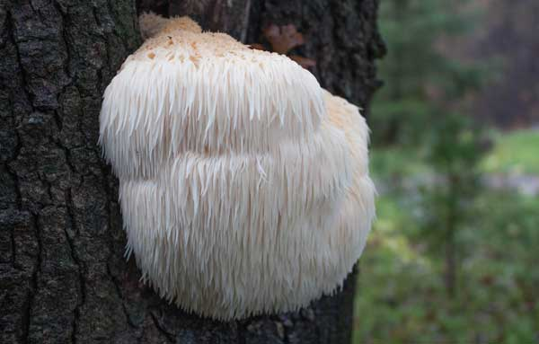 Гребенчатый ежевик на дереве
