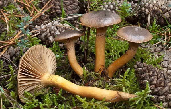 четыре гриба мокрухи пурпуровой