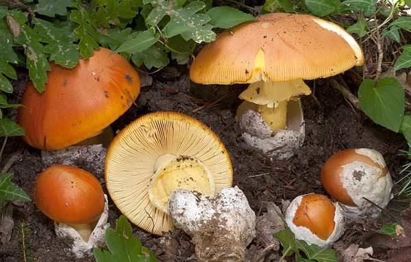 Внешний вид цезарского гриба