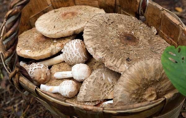 Зонтик краснеющий (гриб курятник) в корзинке