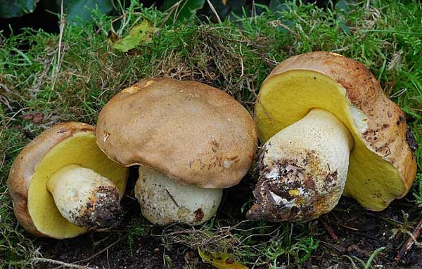плодовые тела полубелого гриба