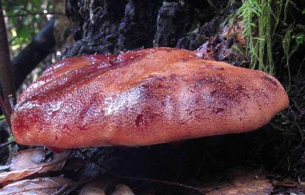 Внешний вид печеночного гриба