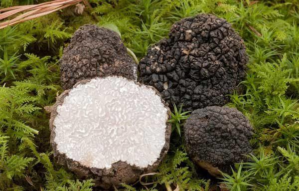Плодовые тела летнего трюфеля