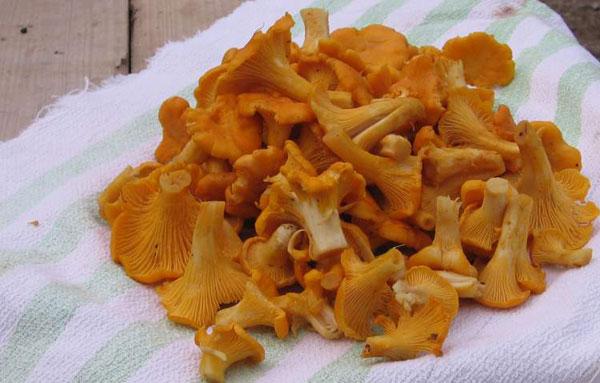 Подготовка грибов лисичек к заморозке